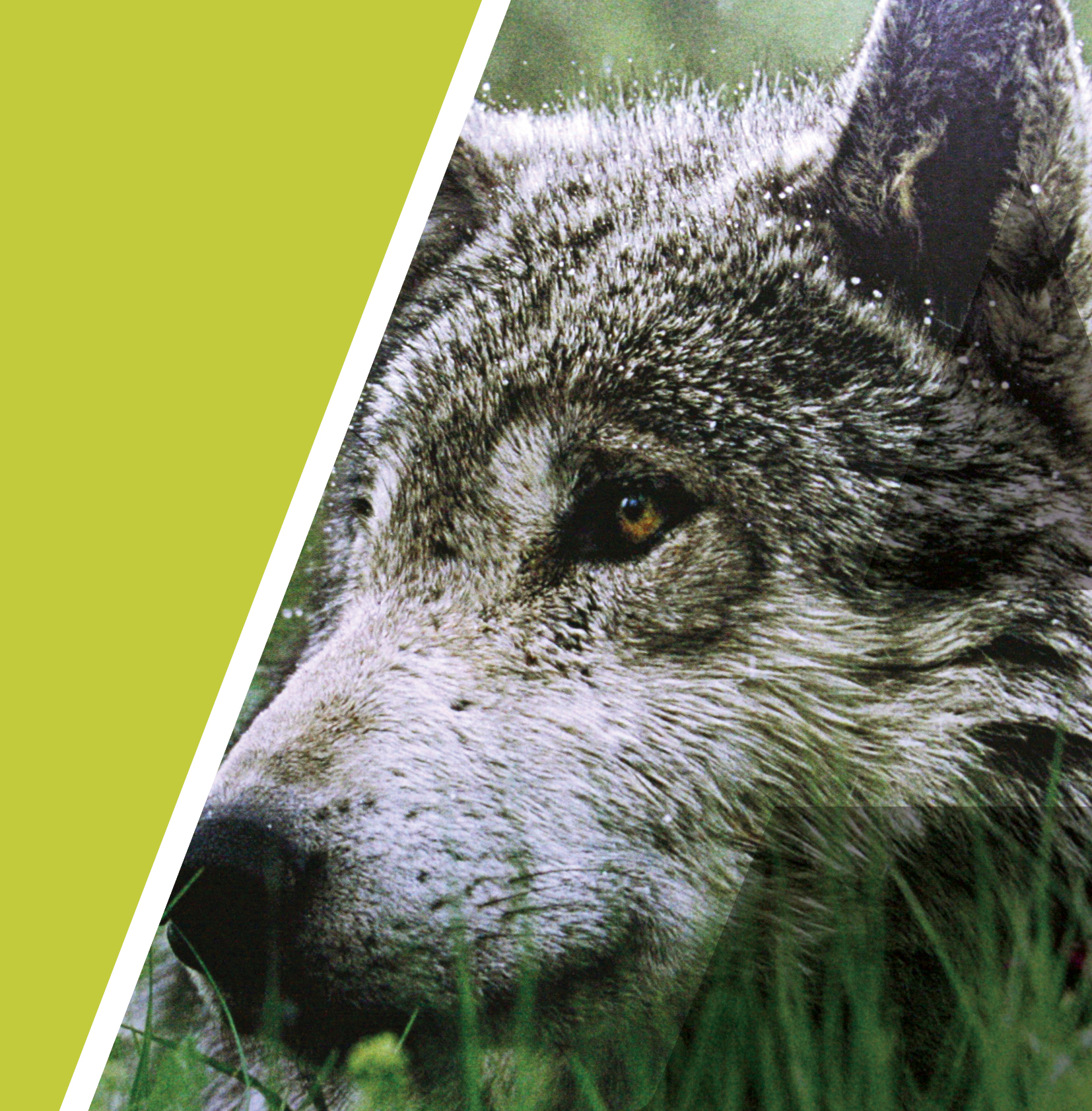Wolves are associated with dexterity, ingenuity, they have amazing endurance and they easily adapt to new situations.